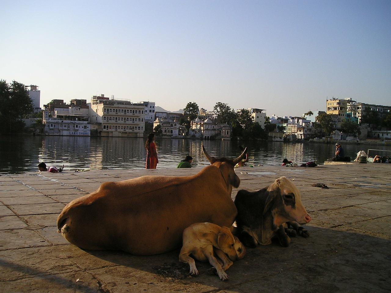 Bezerro com um olho considerado um deus na Índia